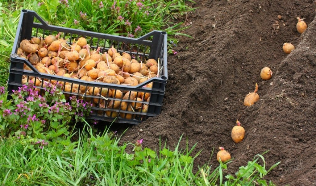Посадка картофеля при помощи культиватора