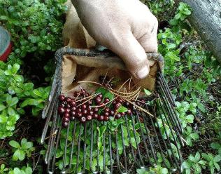 Комбайн для сбора черники и брусники