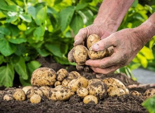 Как определить, что картошка созрела и ее можно копать?