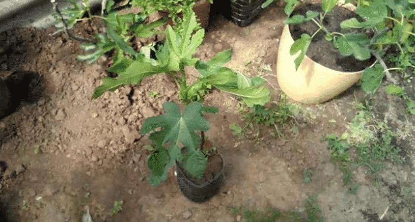 Как посадить инжир