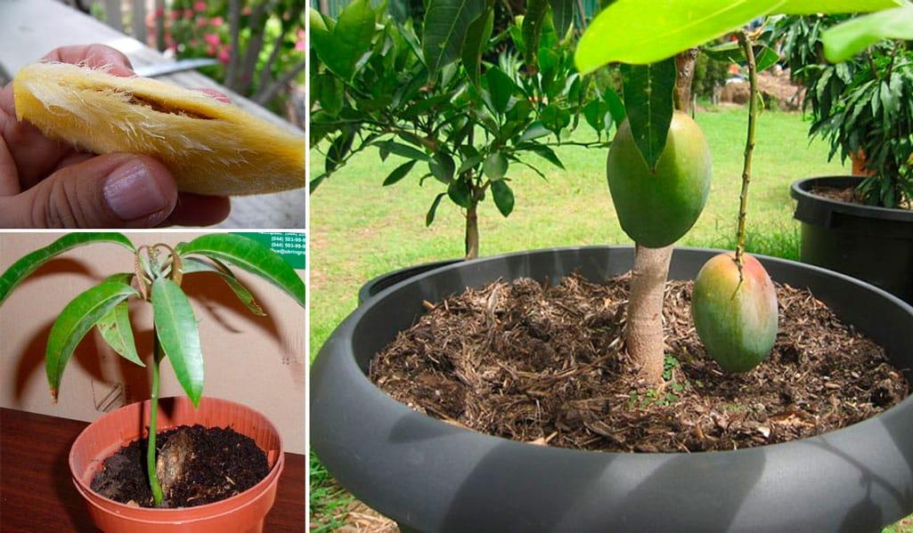 Как прорастить косточку манго