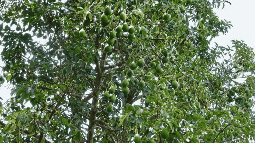 Как растет авокадо в природе