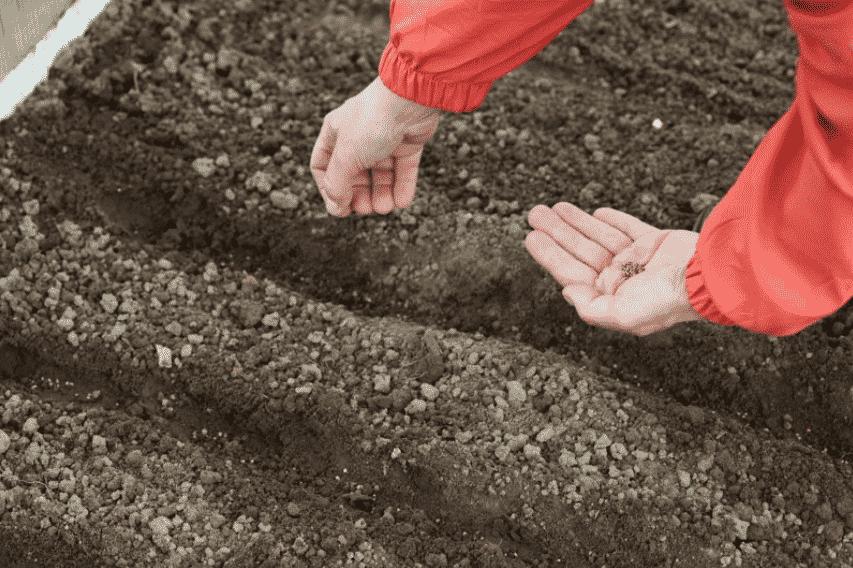 Как сеять редис в открытый грунт