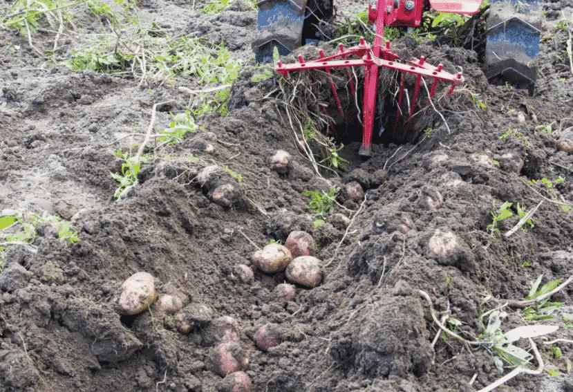 Как выкапывать картошку?