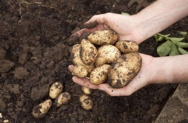 Когда лучше выкапывать молодую картошку?