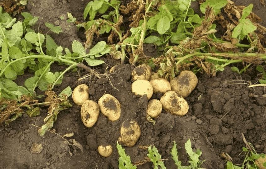 Когда нужно выкапывать картошку?