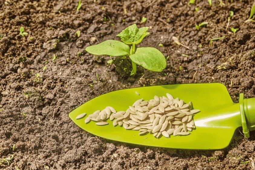 Когда сажать дыню семенами в грунт