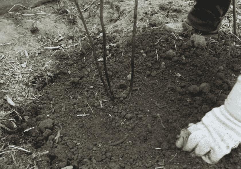 Малина посадка и уход в открытом грунте