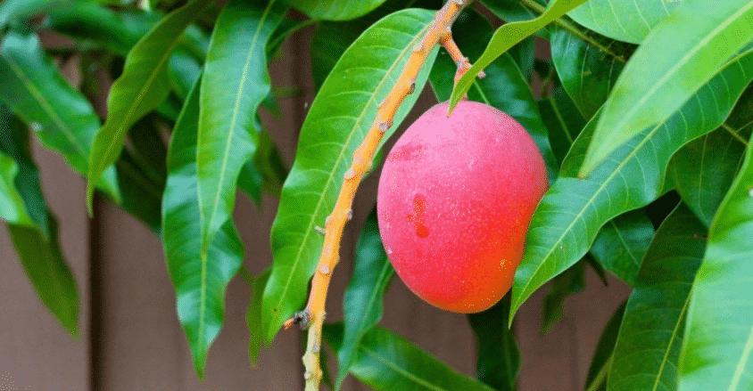 Плодоносит ли манго из косточки