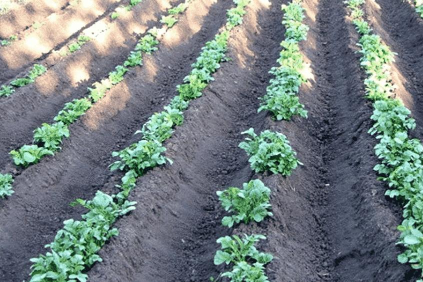 Посадка картофеля в гребни
