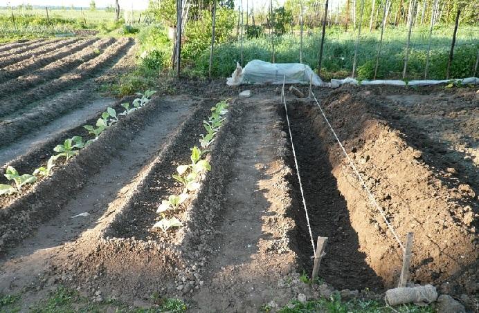 Посадка картофеля в траншеи