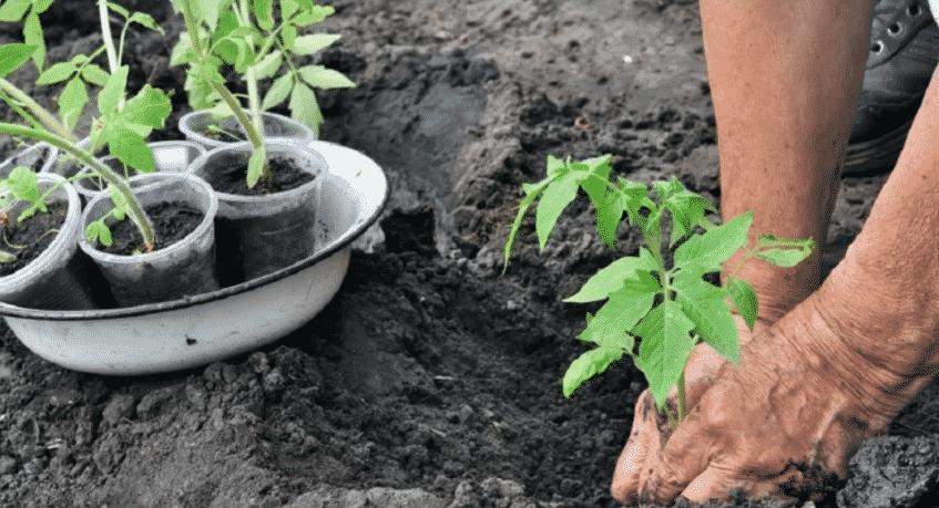 Посадка помидор в открытый грунт