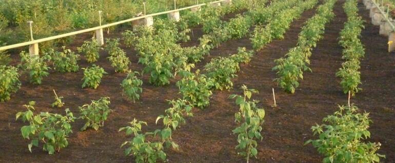 Схема посадки малины - на каком расстоянии сажать малину