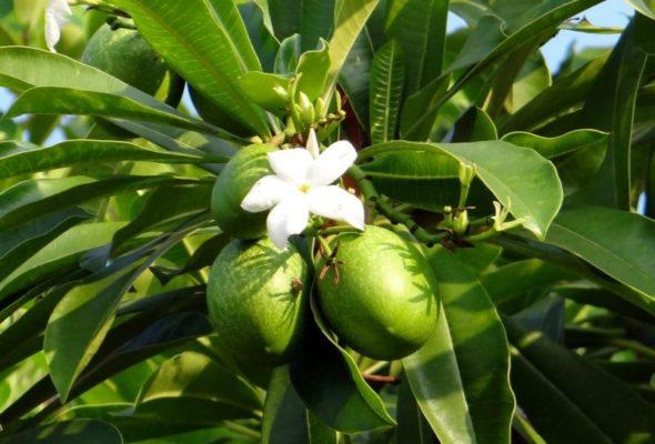 Цветение манго в природе
