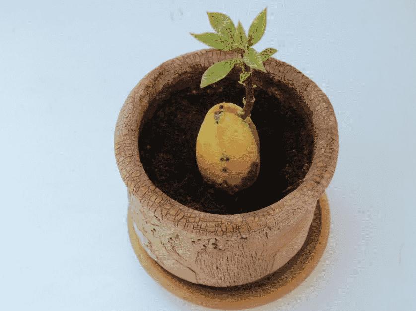 В какой горшок сажать авокадо