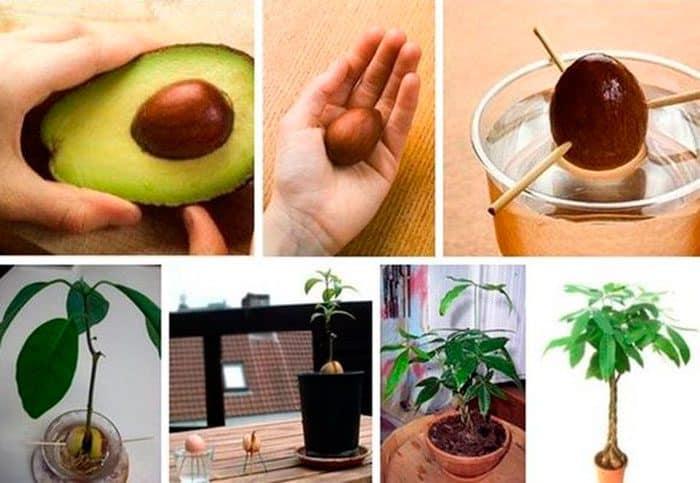 Выращивание авокадо от А до Я
