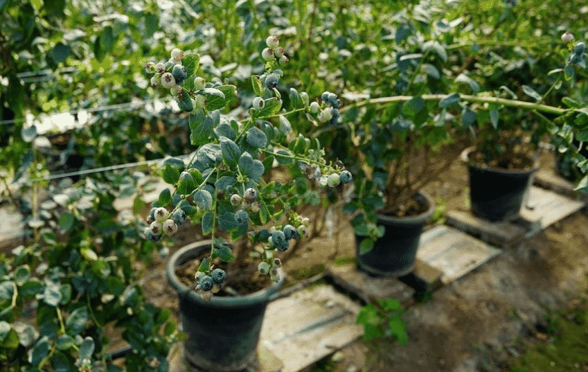 Выращивание голубики дома
