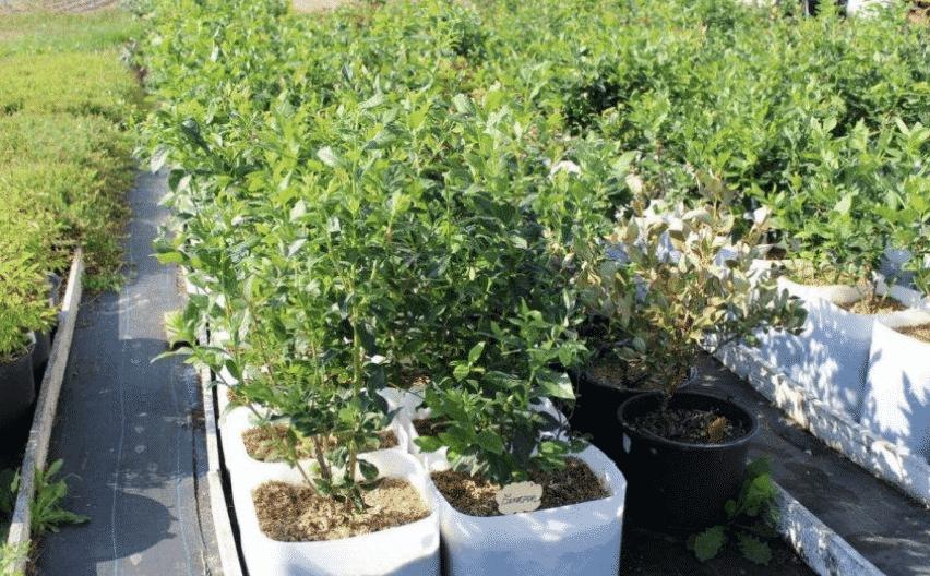 Выращивание голубики в контейнерах