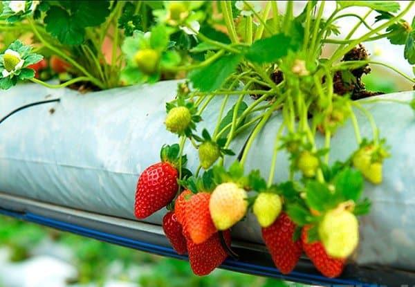 Выращивание клубники в мешках круглый год
