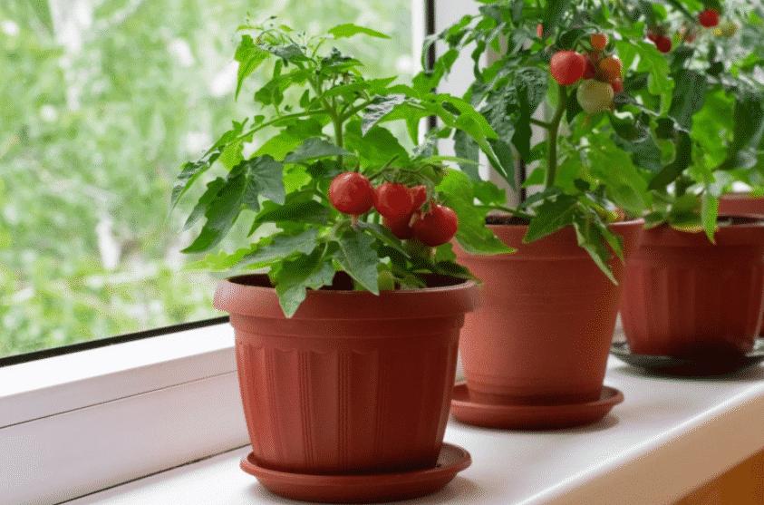 Помидоры на балконе - балконные помидоры