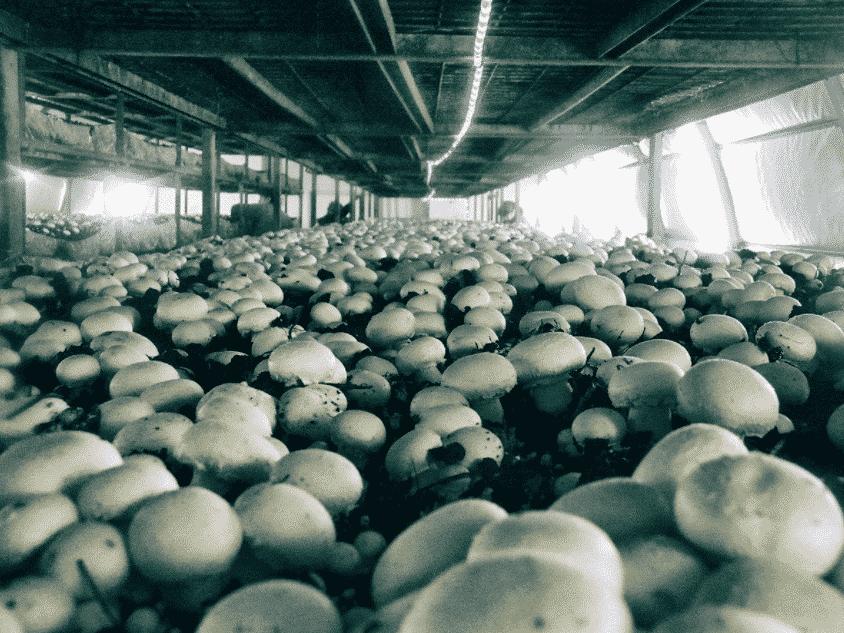 Выращивание шампиньонов в теплице