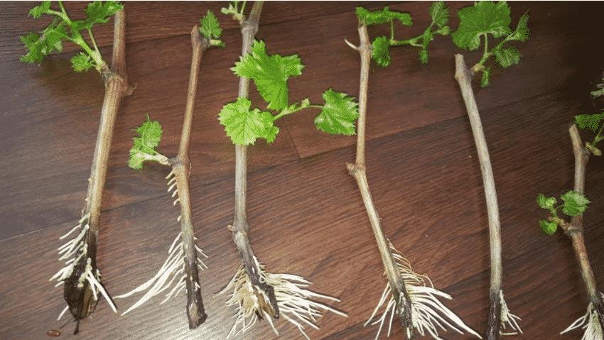 Как вырастить черенки винограда