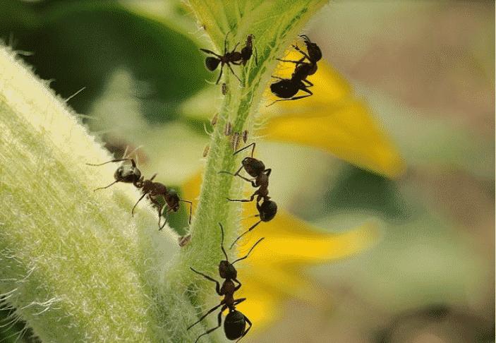Чем травить муравьев в теплице