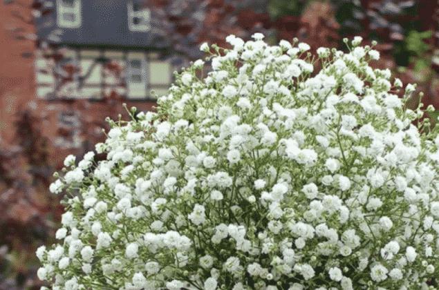 Гипсофила метельчатая фото и описание цветов