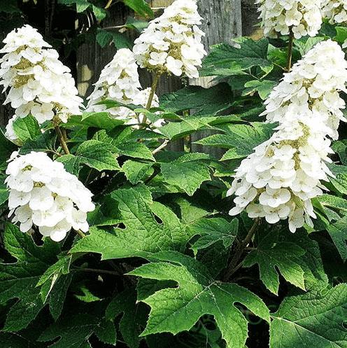 Гортензия дуболистная - как ухаживать весной