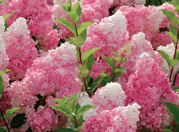 Гортензия метельчатая - как ухаживать в саду