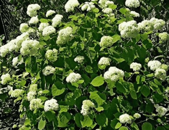 Гортензия пепельная - где лучше посадить на садовом участке