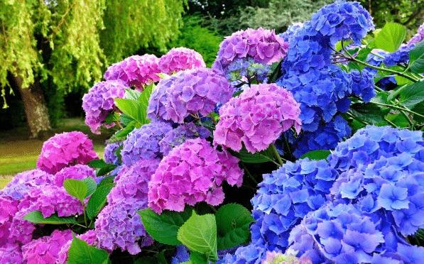 Гортензия садовая - уход и выращивание в саду