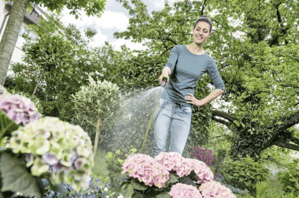 Как часто поливать гортензию после посадки весной