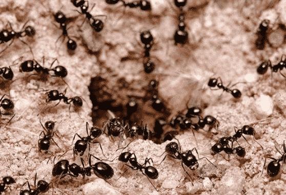 Как избавиться от черных муравьев на грядках