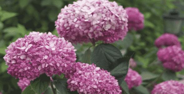 Как посадить гортерзию древовидную в открытый грунт