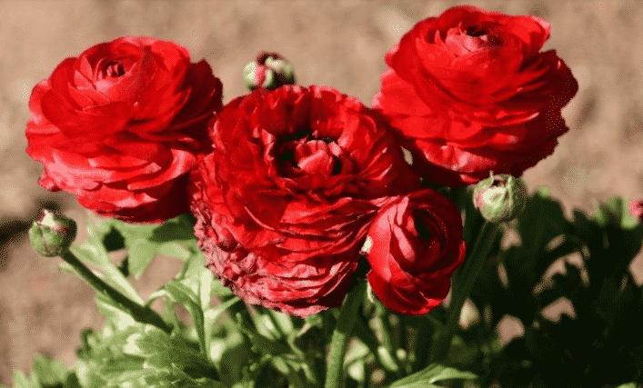 Как посадить садовые лютики в открытый грунт