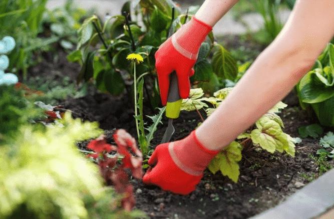 Как вырастить лютик из семян в домашних условиях