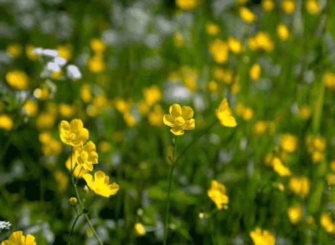 Лютики садовые - фото и описание
