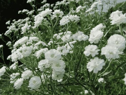 Гипсофила махровая белая, снежинка (снежные хлопья)