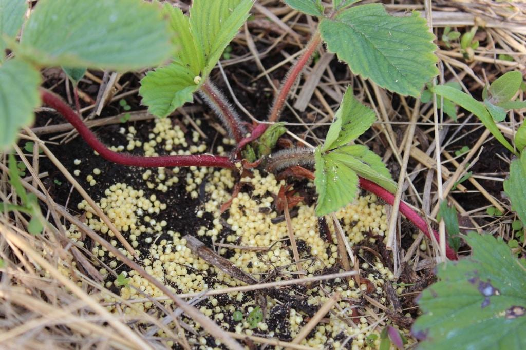 Манка и пшено - натуральная ловушка от мурашей