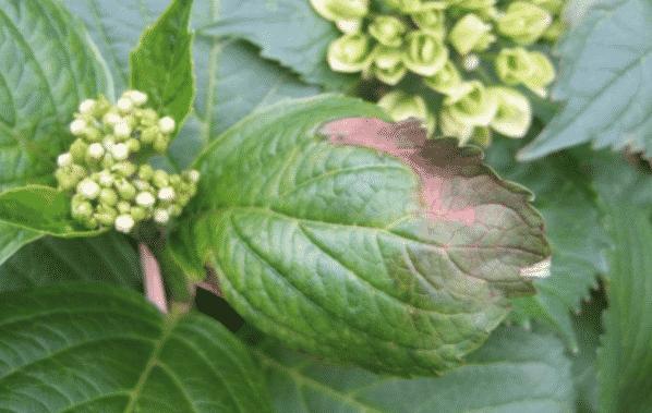 Плесень на гортензии в саду