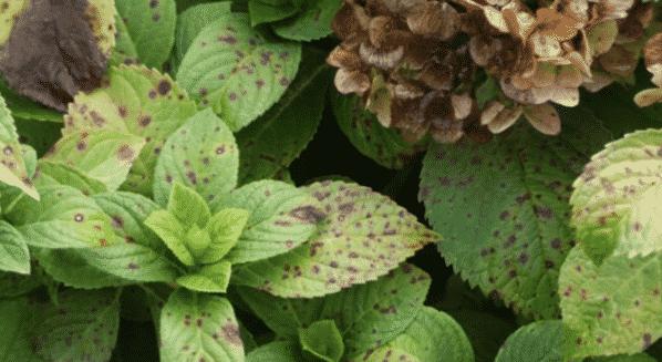 Пятнистость листьев гортензии