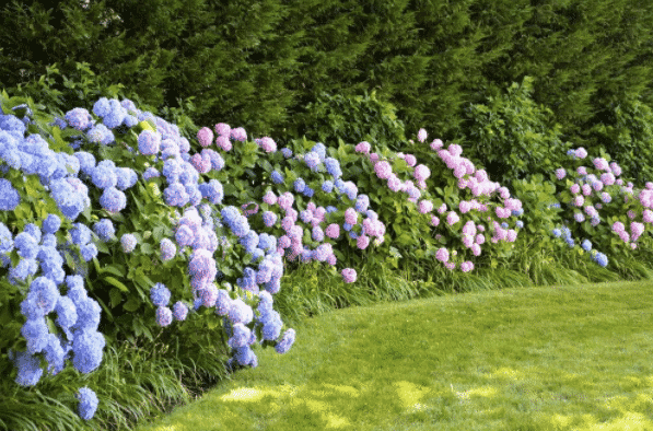 Пышное цветение гортензии весной и летом