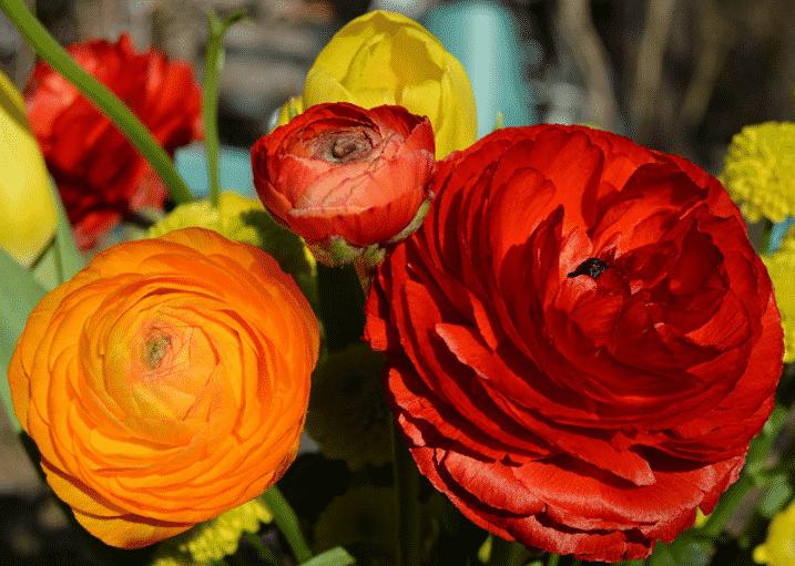 Ранункулюсы - фото в саду