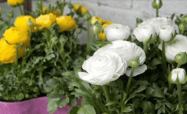 Цветение лютика - фото