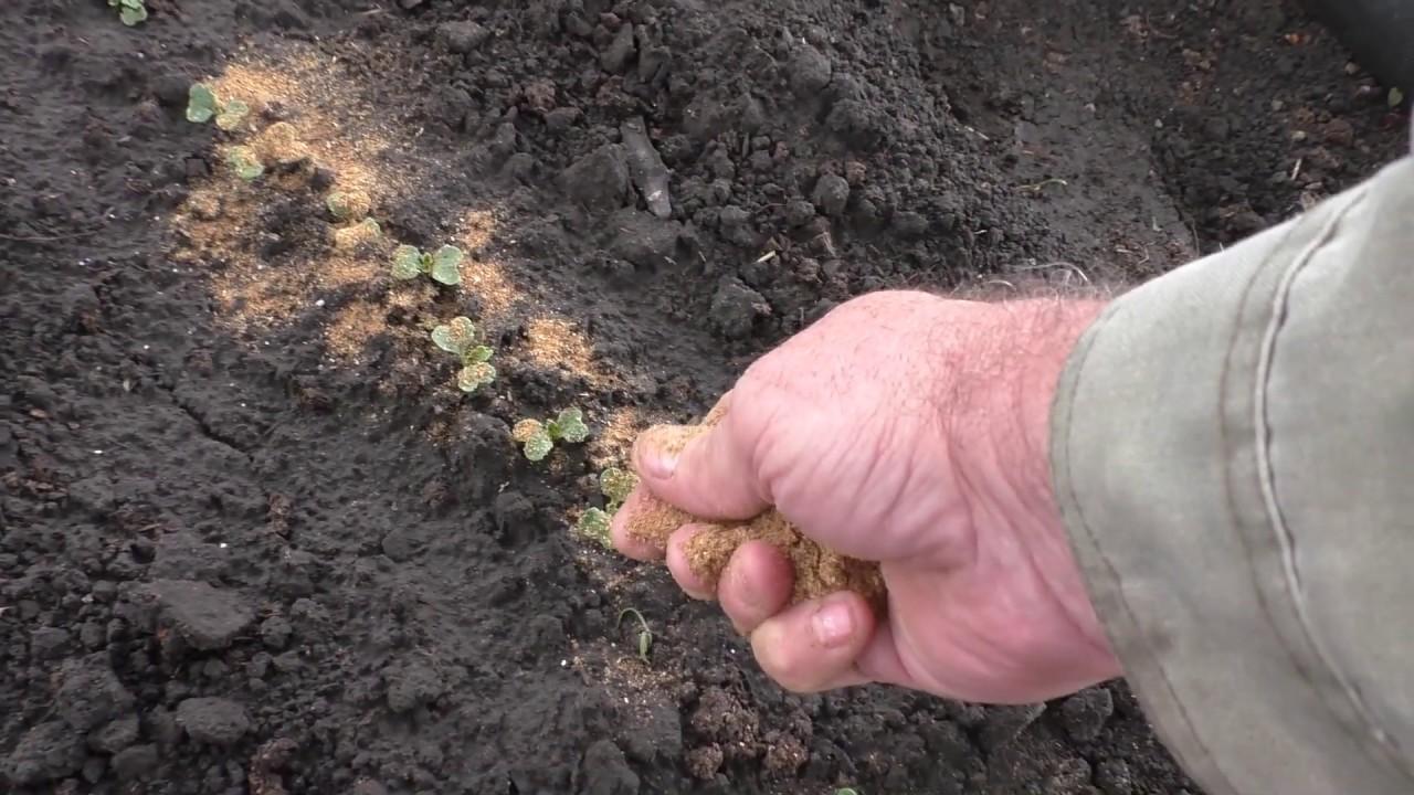 Табачная пыль - способ избавиться от муравьев навсегда