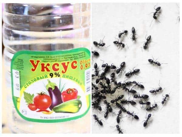 Уксус - средство от муравьев на участке