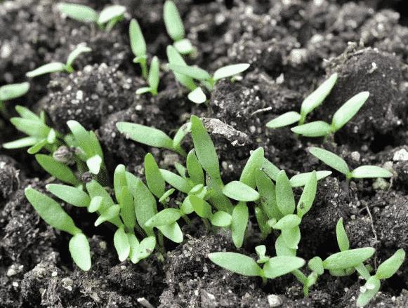 Выращивание гипсофилы метельчатой из семян